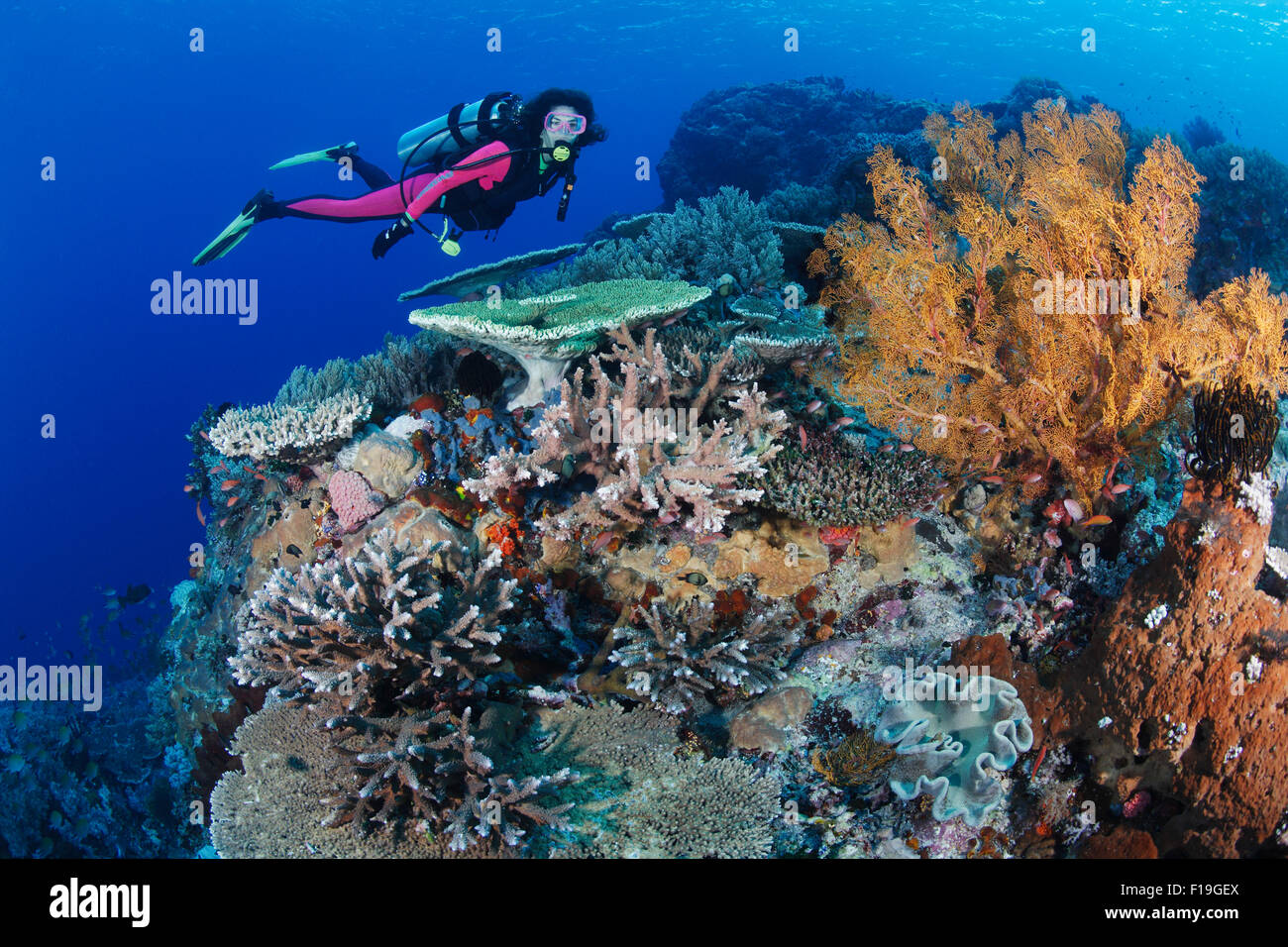 px0307-D.  scuba diver (model released) swims over healthy coral reef, with a variety of hard corals, soft corals, - Stock Image