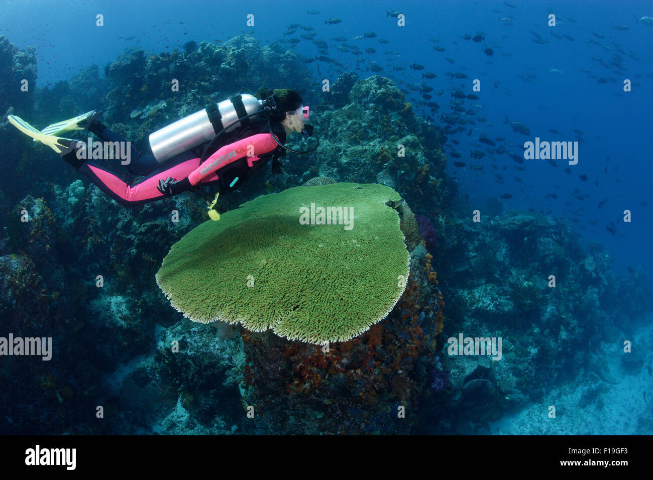 px0334-D. scuba diver (model released) glides over large table coral along reef edge. Indonesia, tropical Pacific - Stock Image