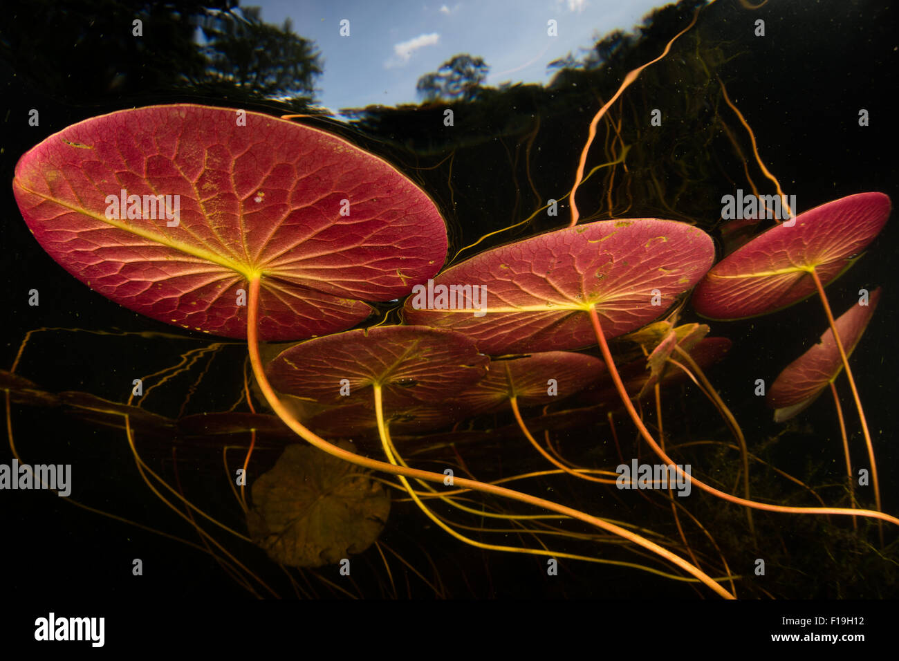 Lily pads grow in a freshwater pond in Cape Cod, Massachusetts. - Stock Image