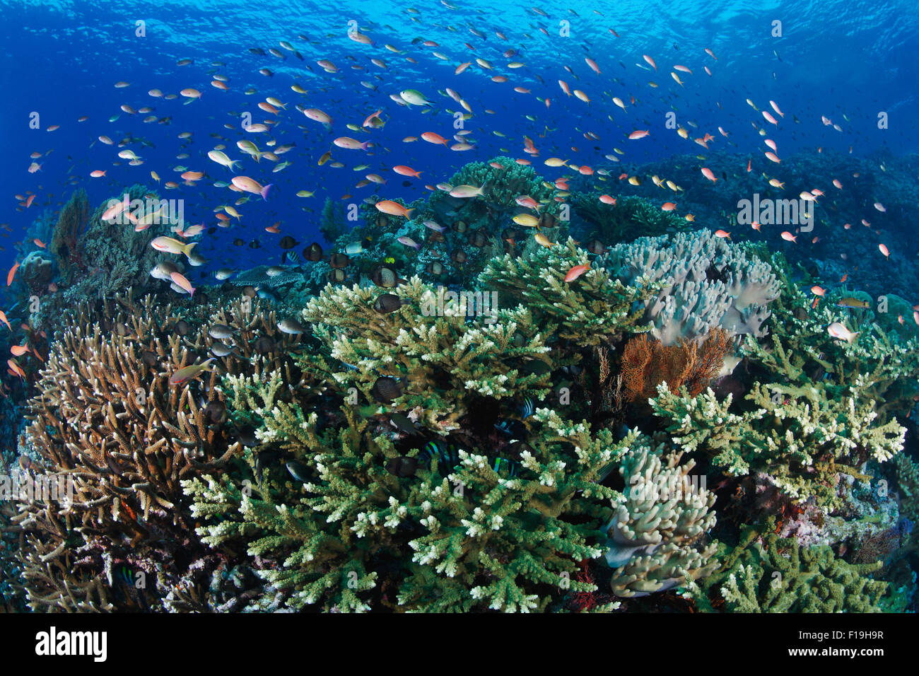 px0665-D. Healthy coral reef bustling with life. Anthias (Pseudanthias spp.) feeding in the current over branching - Stock Image