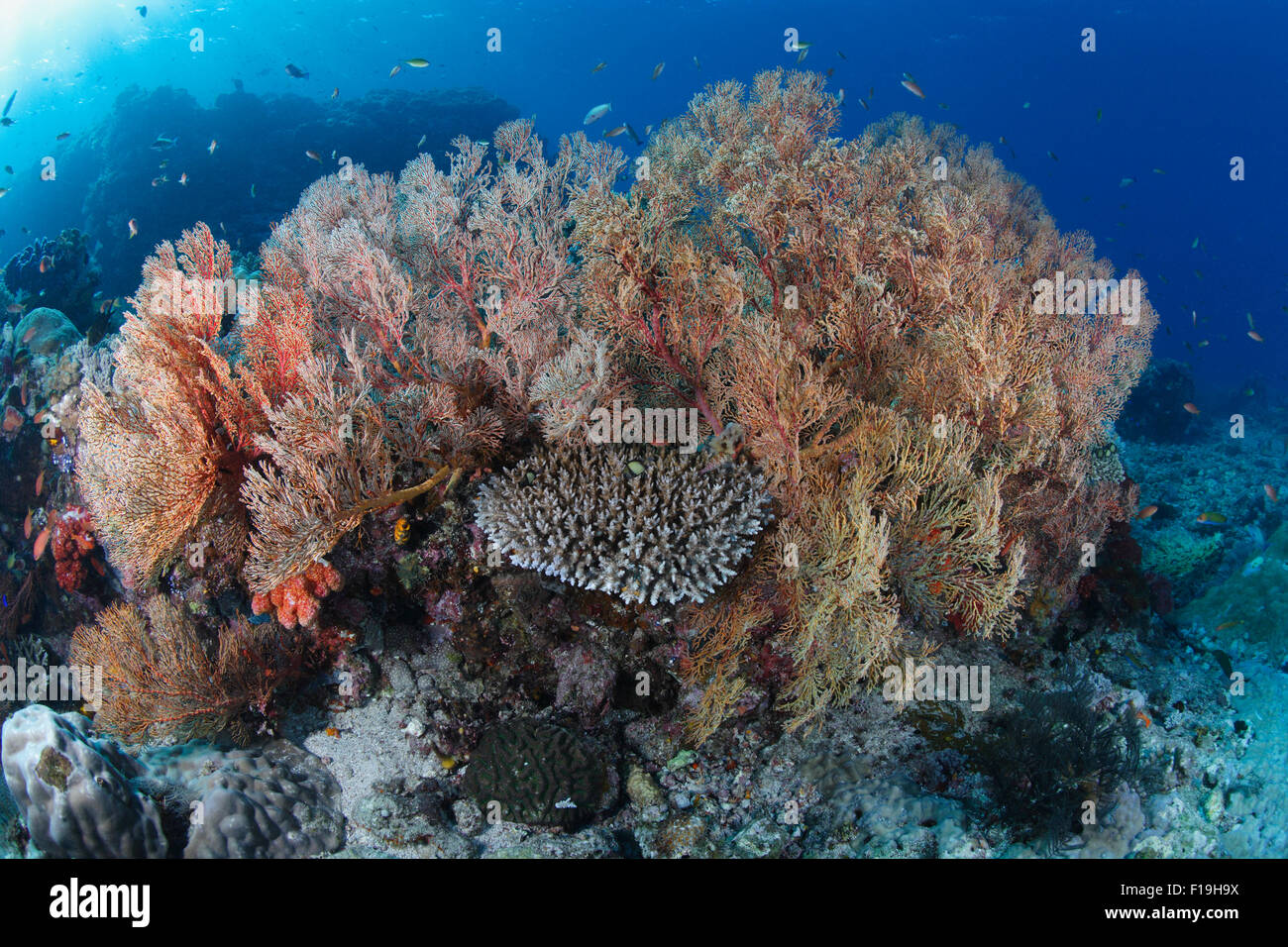 px0668-D. sea fans (Melithaea sp.). Indonesia, tropical Pacific Ocean. Photo Copyright © Brandon Cole. All - Stock Image