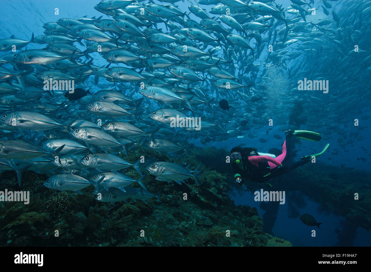 px1058-D. scuba diver (model released) and huge school of Bigeye Jacks (Caranx sexfasciatus) over the Liberty Shipwreck. - Stock Image