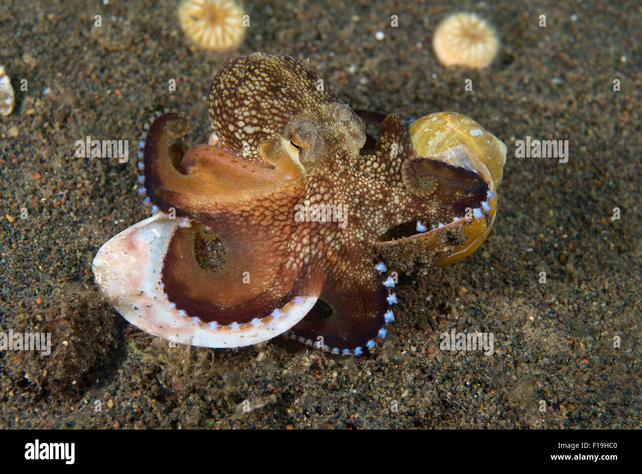 px8650-D. A juvenile Veined Octopus (Amphioctopus marginatus) walking along carrying empty snail shells under which - Stock Image