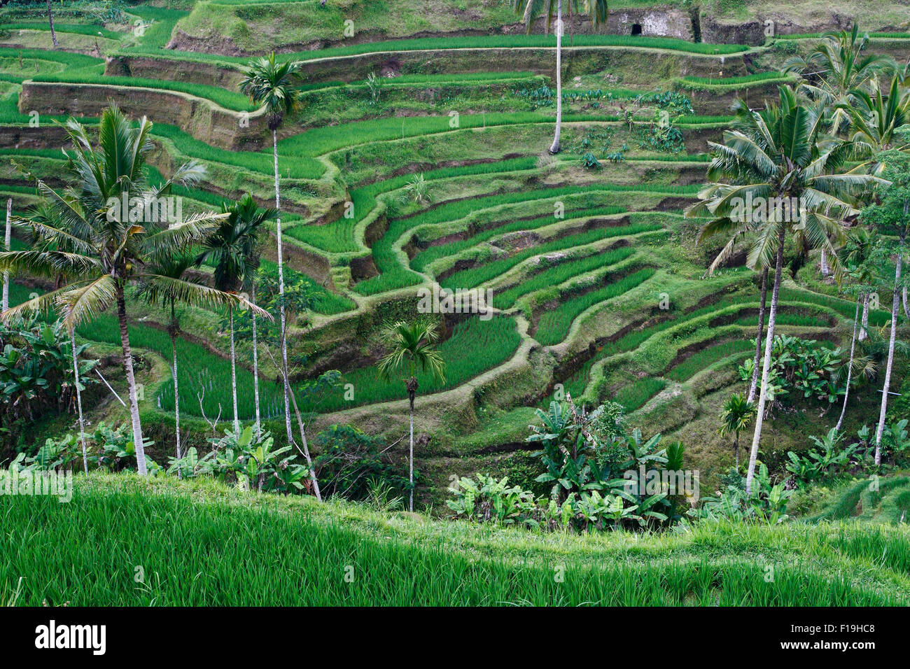 px41713-D. rice terraces and palm trees, Bali. Indonesia. Photo Copyright © Brandon Cole. All rights reserved - Stock Image