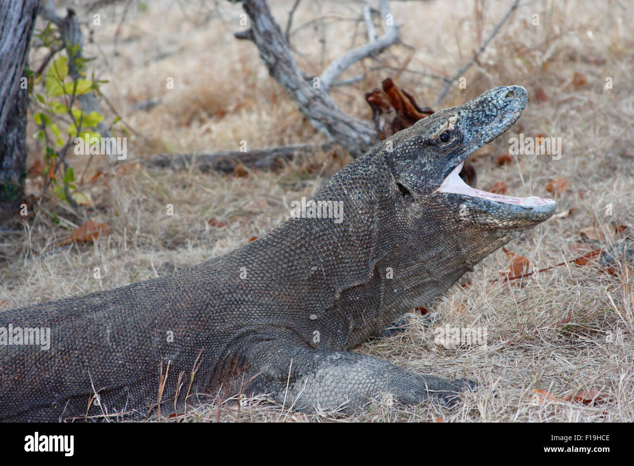 px42408-D. Komodo Dragon (Varanus komodensis), world's largest lizard. Saliva is full of bacteria which can - Stock Image