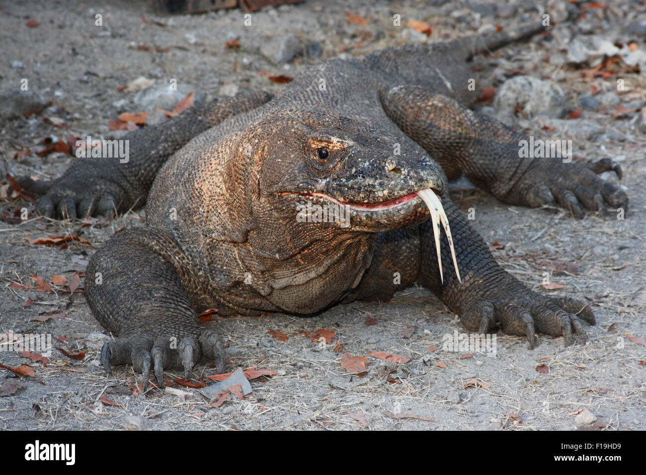 px72071-D. Komodo Dragon (Varanus komodensis), world's largest lizard. Saliva is full of bacteria which can - Stock Image