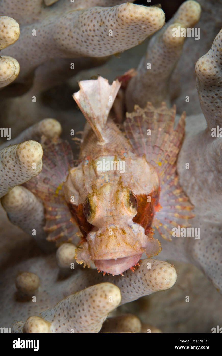 PX510218-D. Bearded Scorpionfish (Scorpaenopsis oxycephalus), juvenile resting in soft coral. Indonesia, tropical - Stock Image