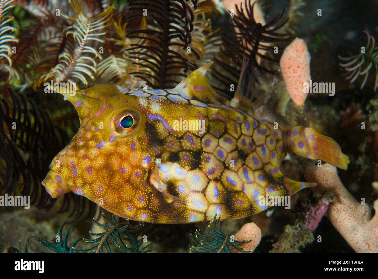 px52037-D. Longhorn Cowfish (Lactoria comuta). Indonesia, tropical Pacific Ocean. Photo Copyright © Brandon - Stock Image