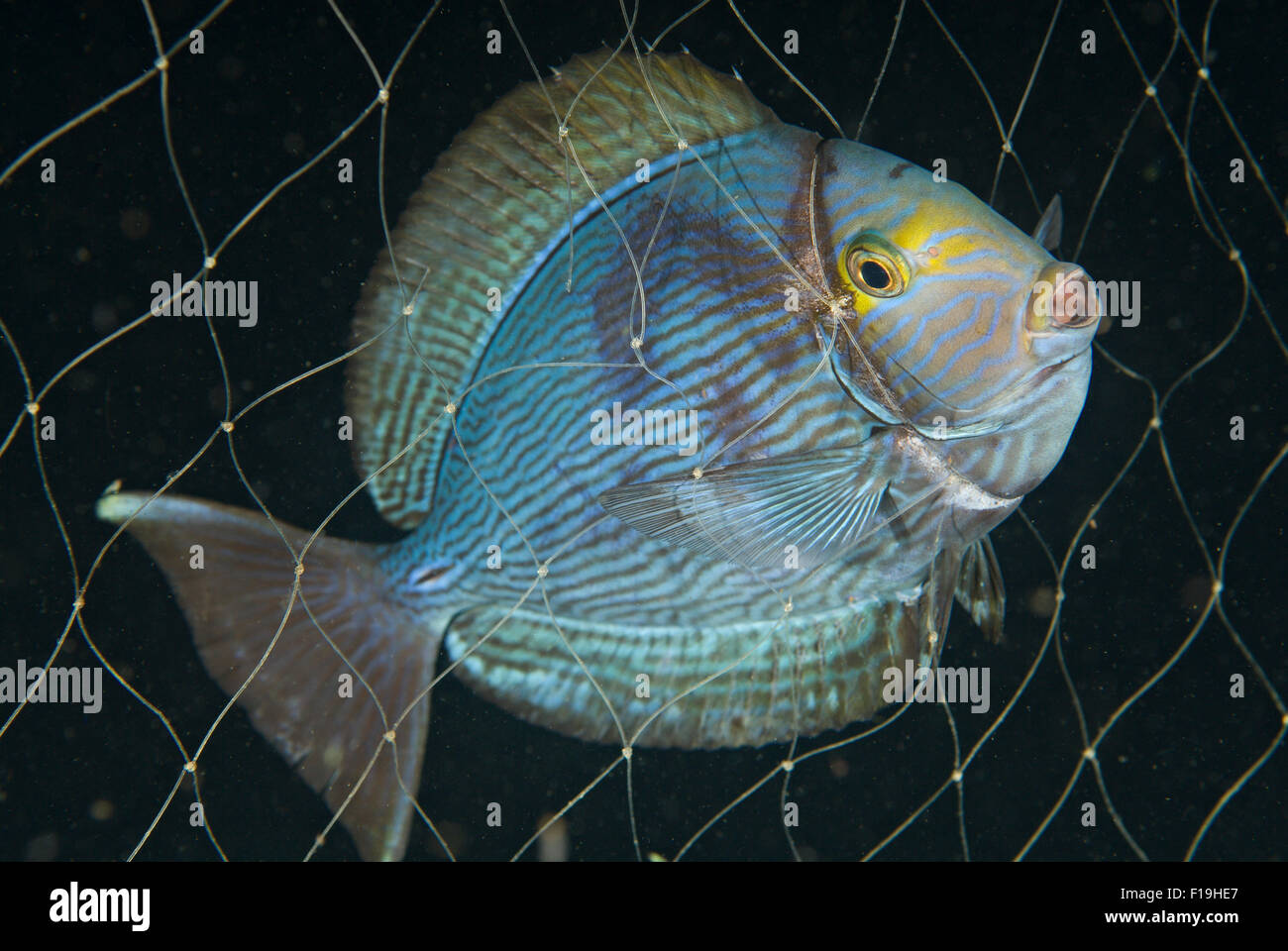 px520355-D. Yellowmask Surgeonfish (Acanthurus mata), caught in fishing net. Indonesia, tropical Pacific Ocean. - Stock Image