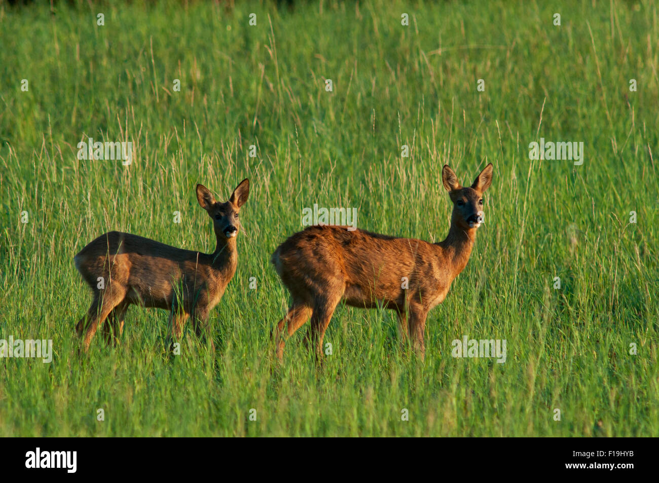Two deer(Capreolus capreolus) on meadow look directly into the camera, Eifel, Rhineland-Palatinate, Germany, Europe - Stock Image