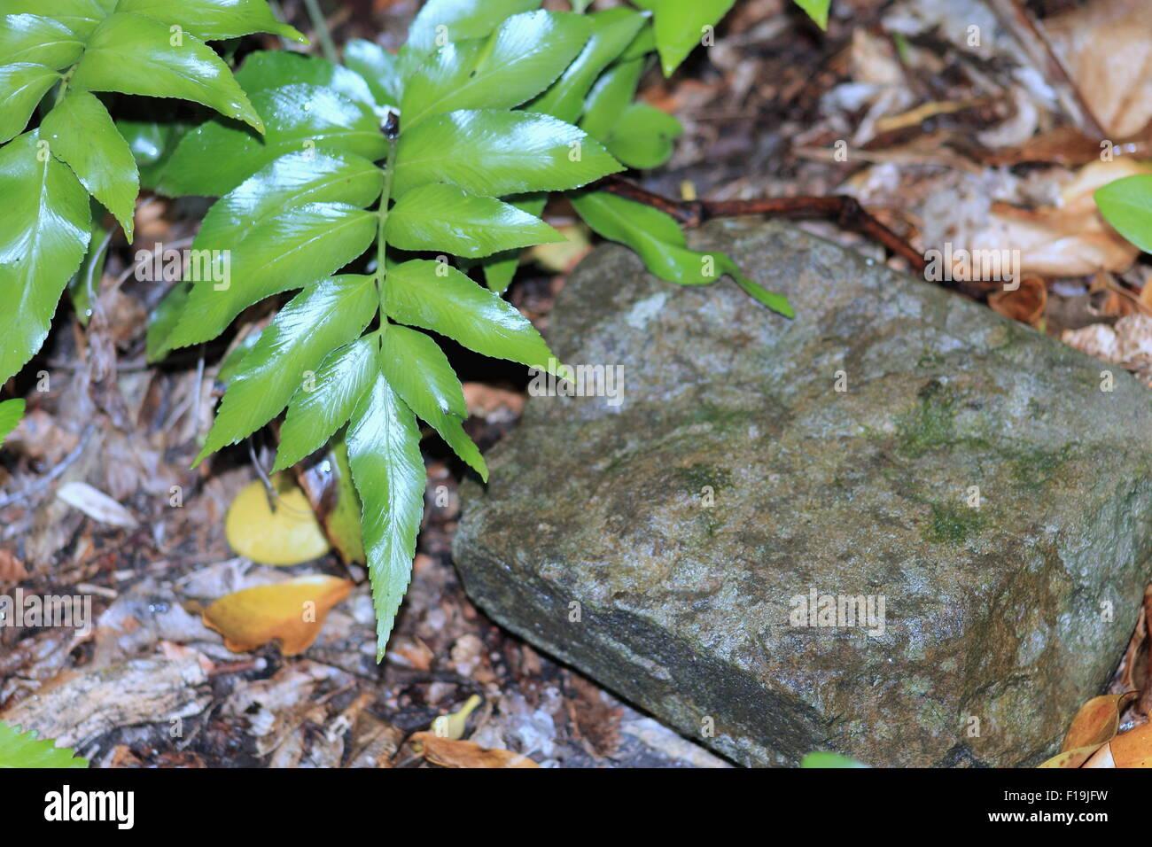 Shining Spleenwort - Stock Image