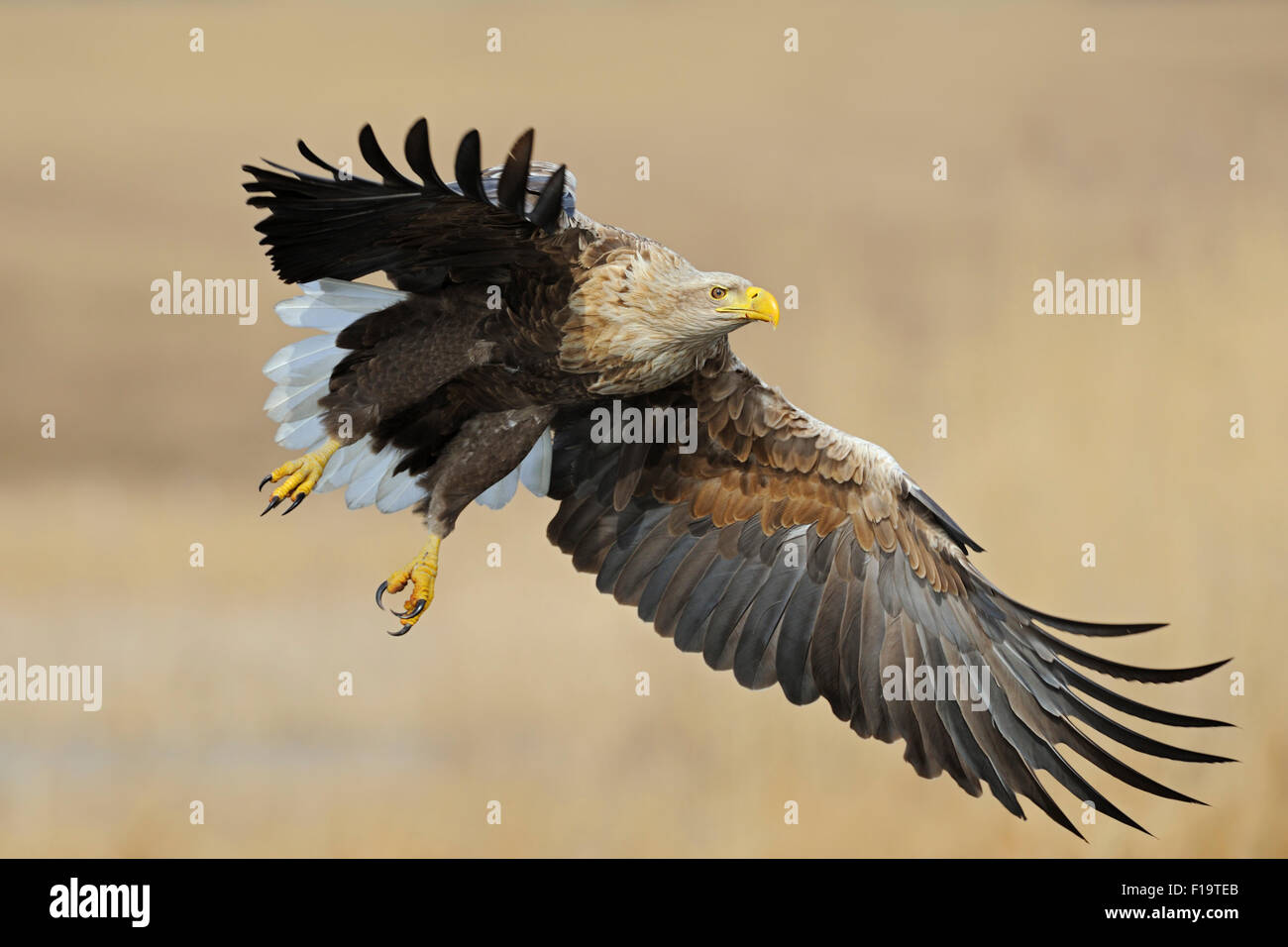 Powerful Haliaeetus albicilla / Seeadler / White-tailed Eagle with wide open wings  flying over reed grass in wetlands. - Stock Image