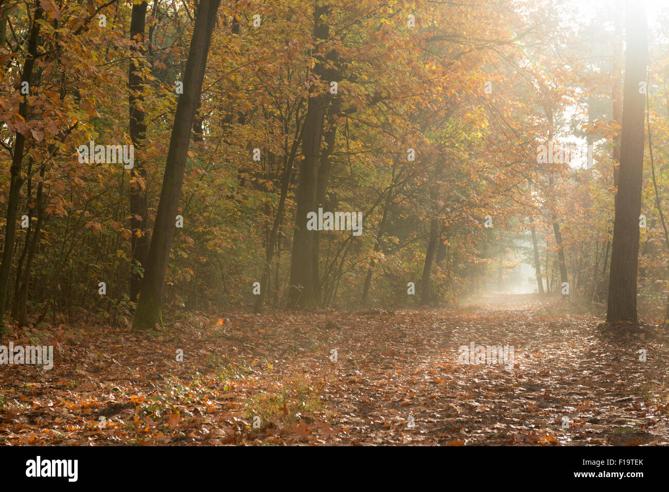 Autumnal forest path in golden light invites for a recreational day in the woods, golden October. - Stock Image