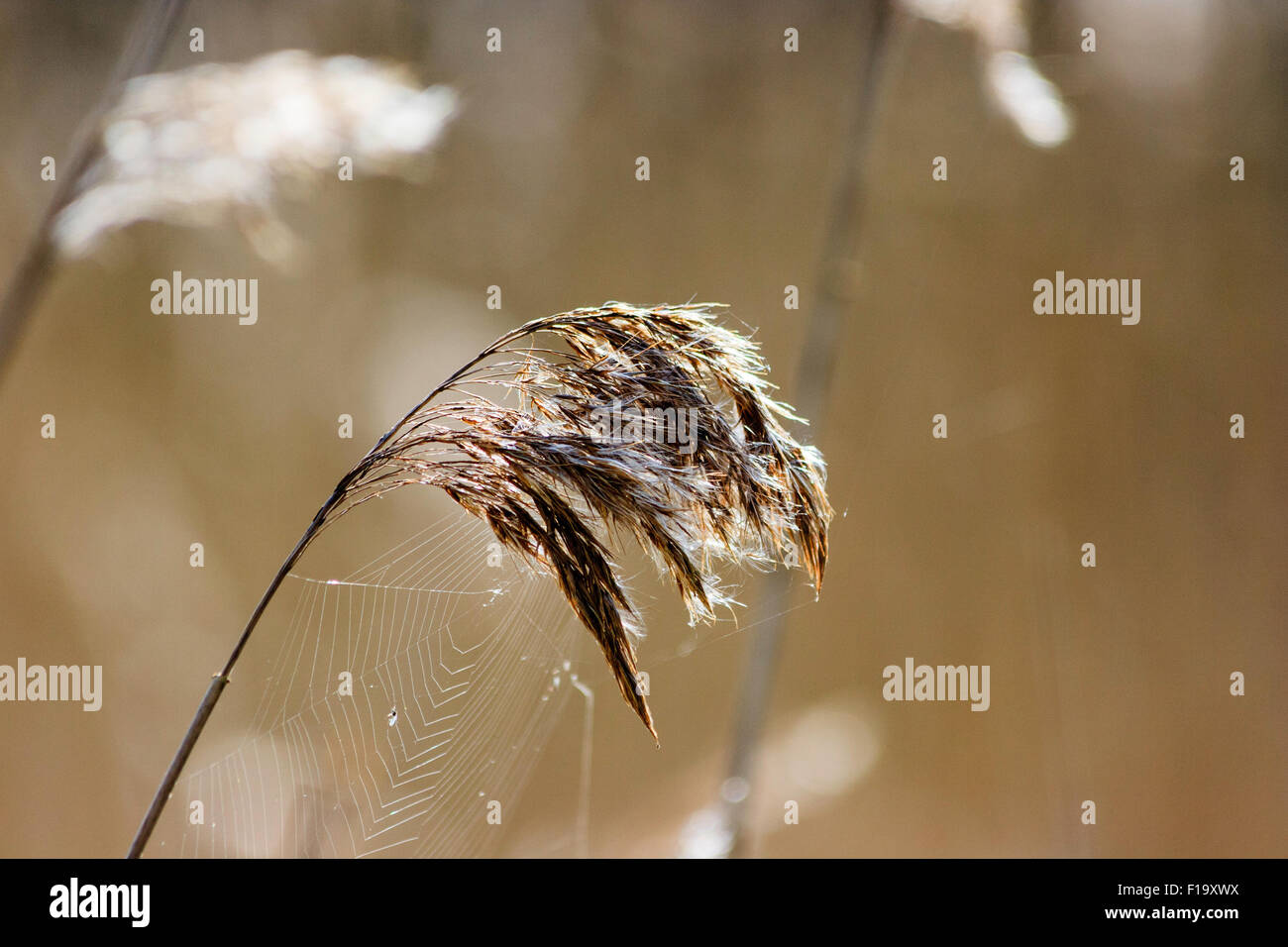 Flowering marsh grass, back-lit with spider web on stem and flower, catkin - Stock Image