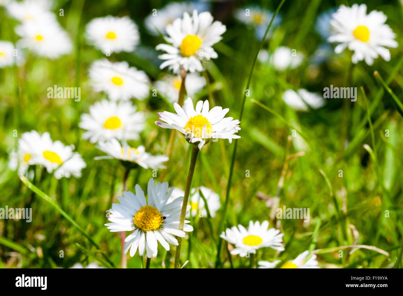England wild flower daisy bellis stock photos england wild flower england wild flower daisy bellis perennis view along flower height izmirmasajfo