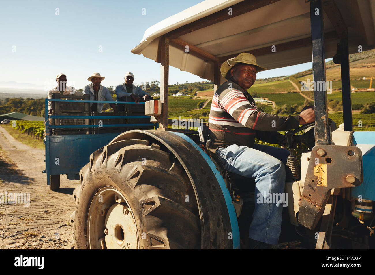 African man driving a tractor with harvested grapes. Vineyard worker taking grapes to wine manufacturer. Delivering - Stock Image