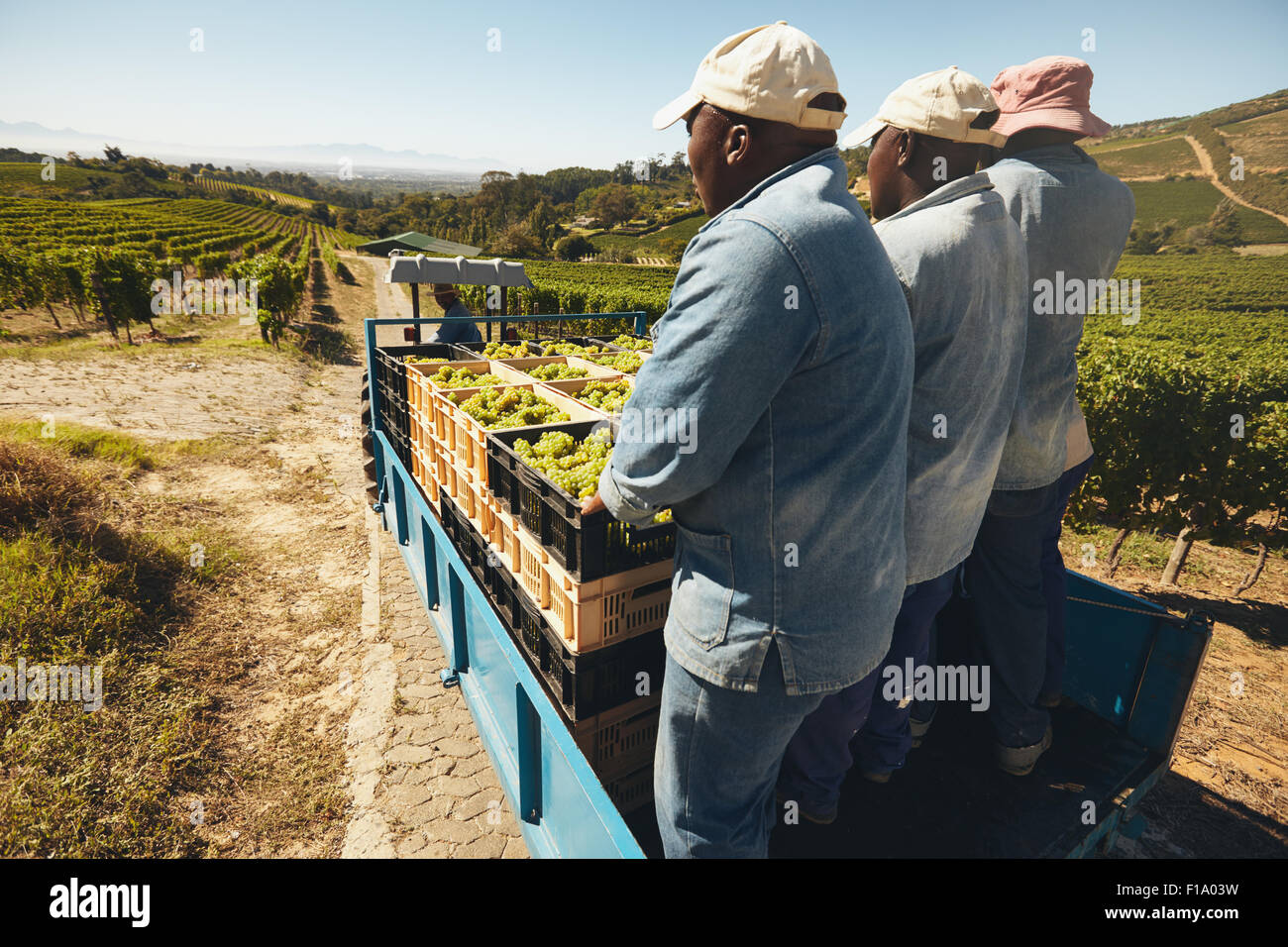 Grapes boxes being delivered from the vineyard to wine manufacturer on a tractor trailer with farmers. Transporting - Stock Image