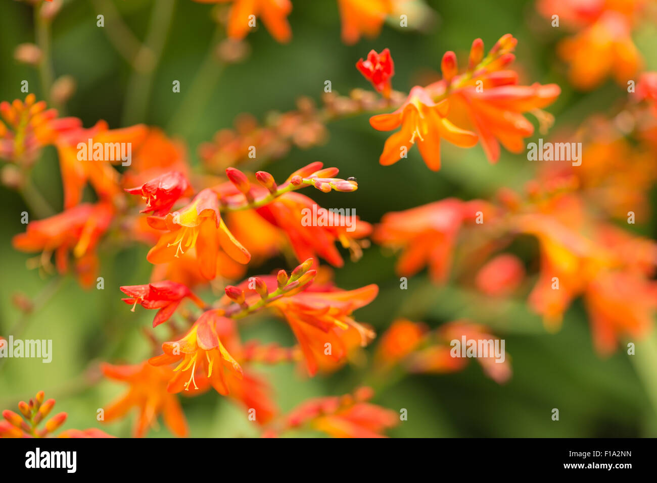 Crocosmia genus Iridaceae coppertips falling stars montbretia bright orange flowers against green slender blade Stock Photo