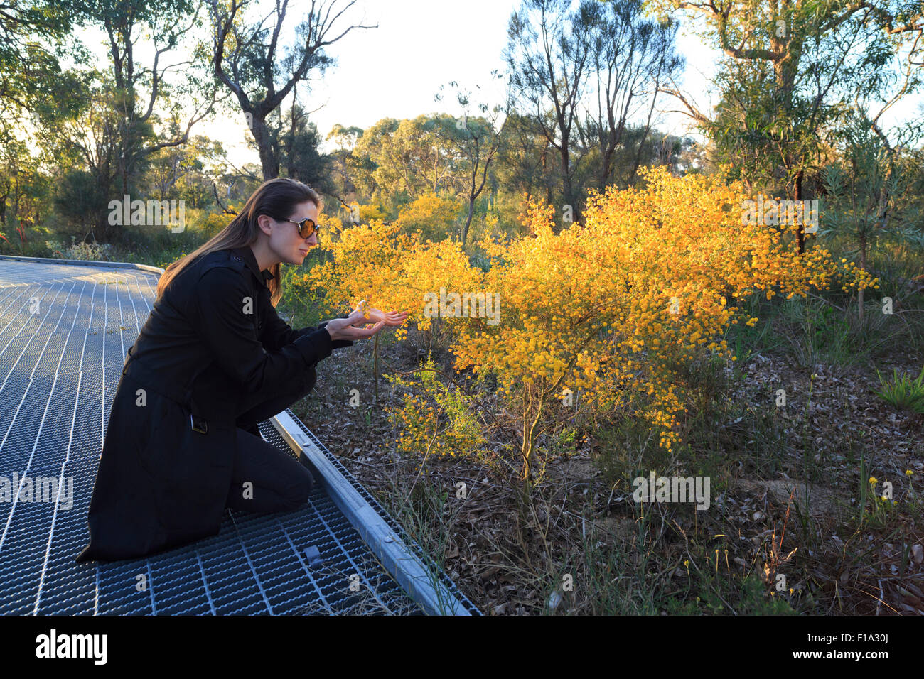 A woman smelling the flowers on a wattle bush at Kings Park in  Perth, Western Australia - Stock Image
