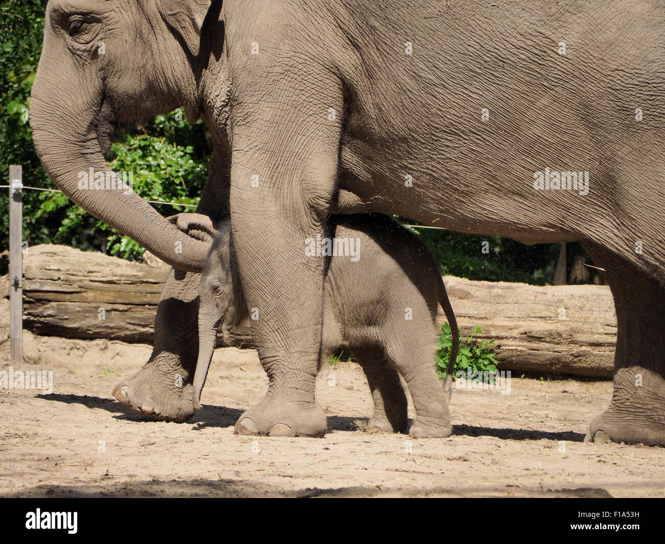 Mother elephant Bangka protecting her new born son, 9 days old. (born 20th august 2015) Blijdorp zoo, Rotterdam, - Stock Image