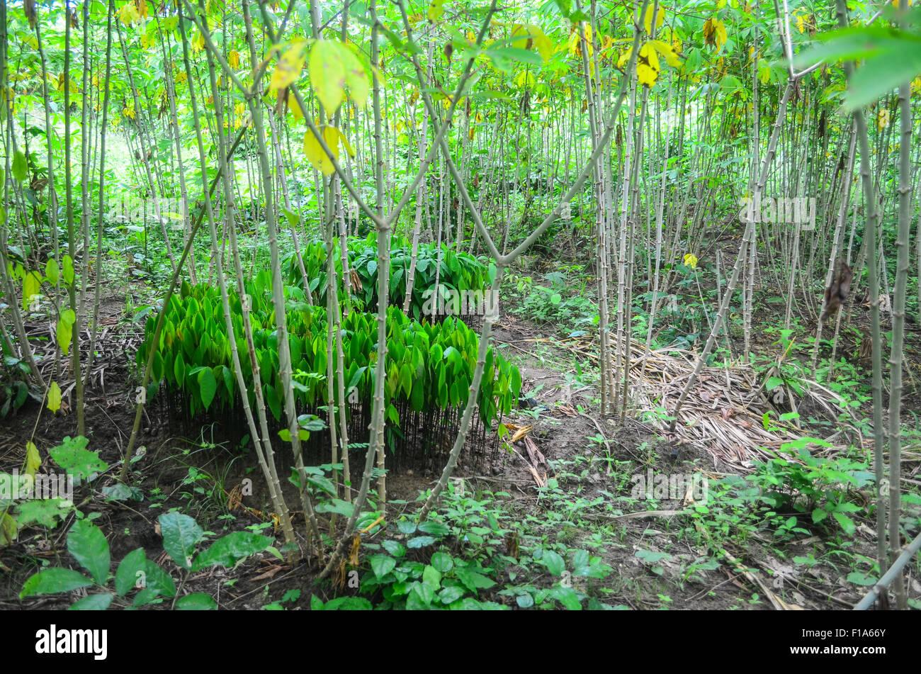 Rubber tree nursery - Stock Image
