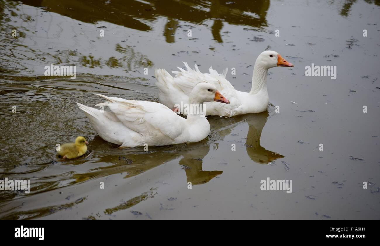 Sebastopol pair with gosling on the pond - Stock Image