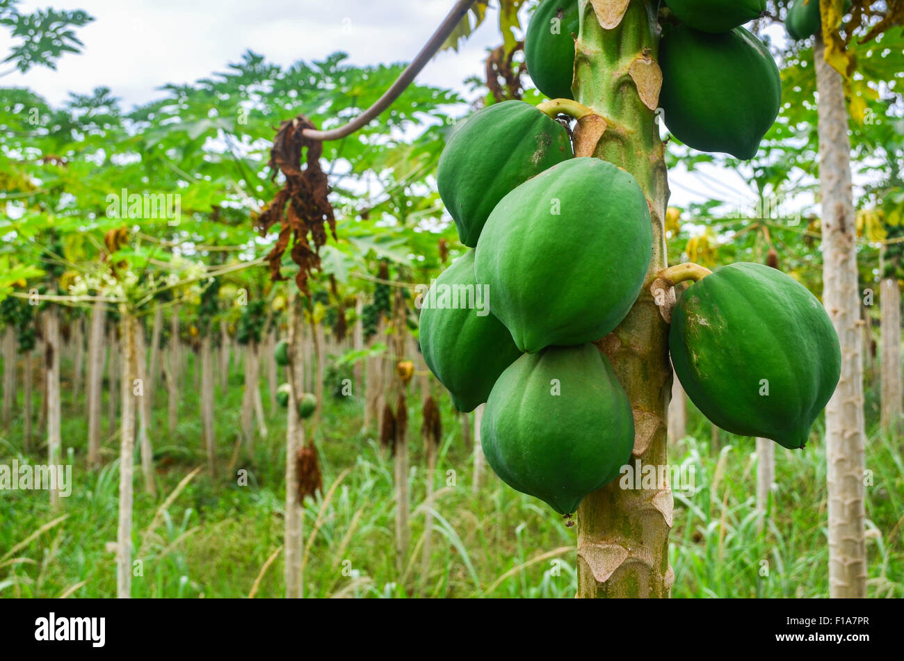 Papaya plantation in Ivory Coast / Côte d'Ivoire - Stock Image