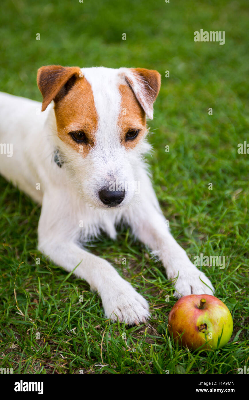 Jack Parson Russell Terrier puppy dog pet, tan rough coated