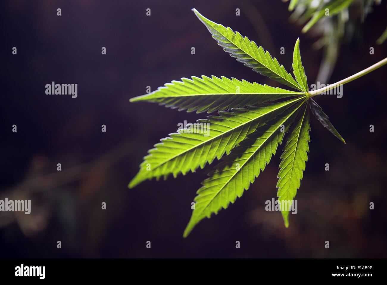 Wismar, Germany, Journal of Cannabis Plant Stock Photo