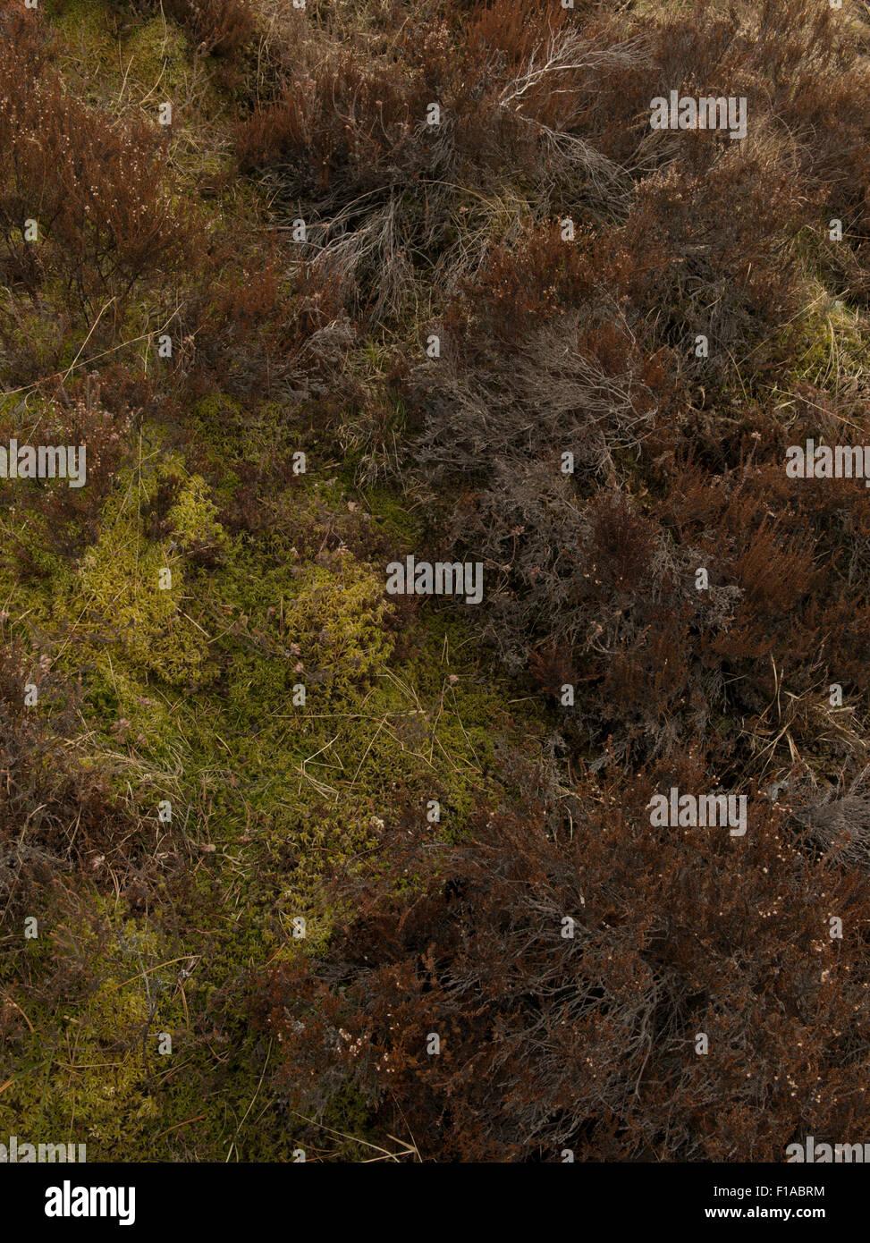 New growth mosses among old heather,Highland,Scotland,UK, - Stock Image