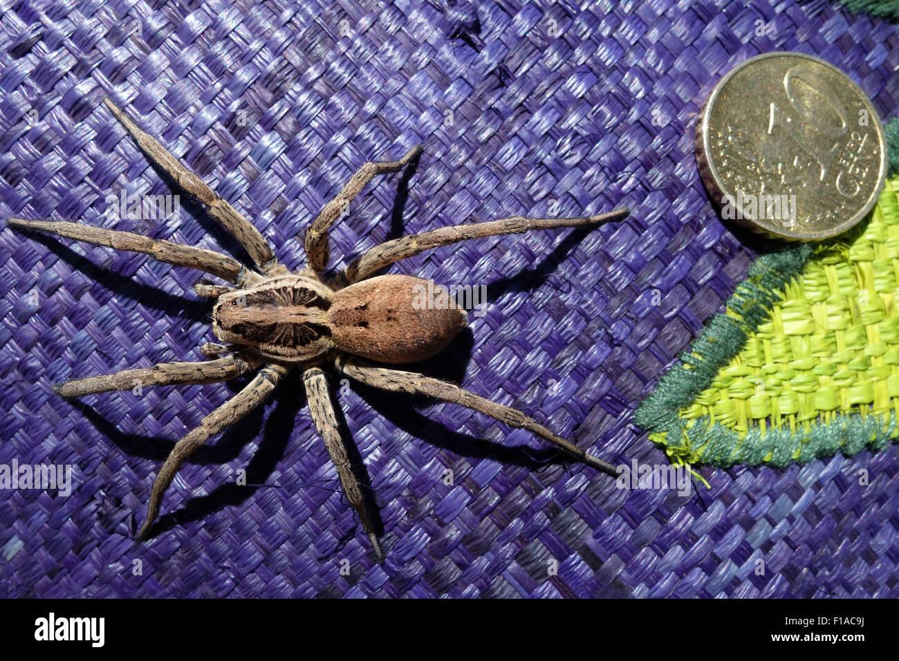 Torre Alfina, Italy, wolf spider - Stock Image