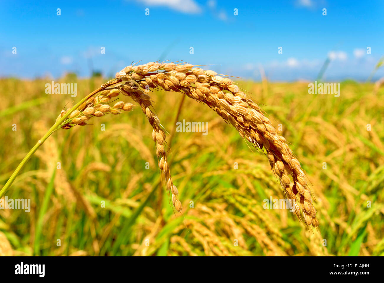 closeup of a rice plant in a paddy field in the Ebro Delta, in Catalonia, Spain - Stock Image