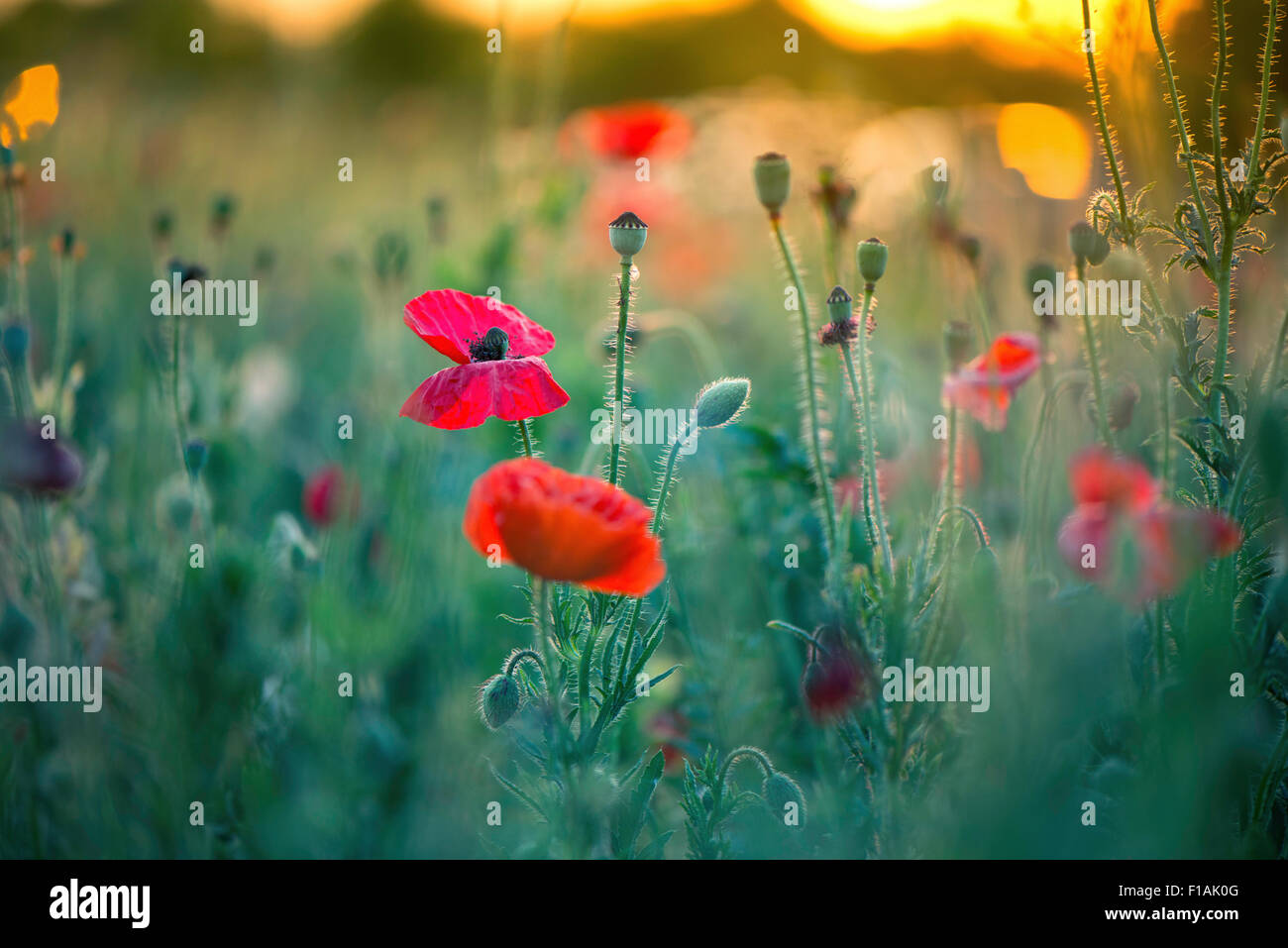 Close up of red poppy flowers - Stock Image