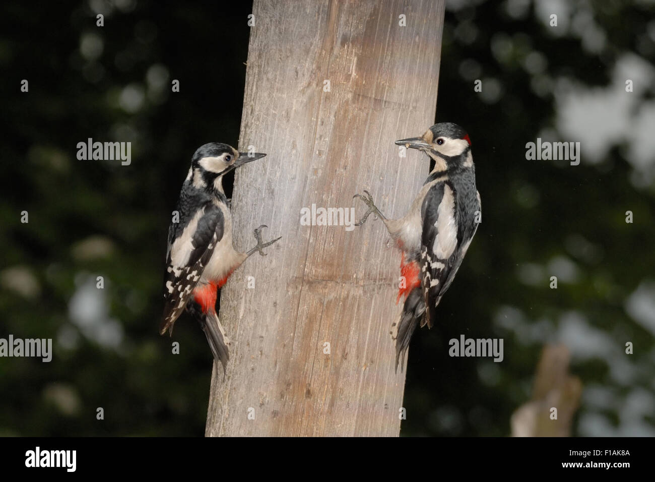Male and female Great Spotted Woodpeckers vis-a-vis on the column - Stock Image