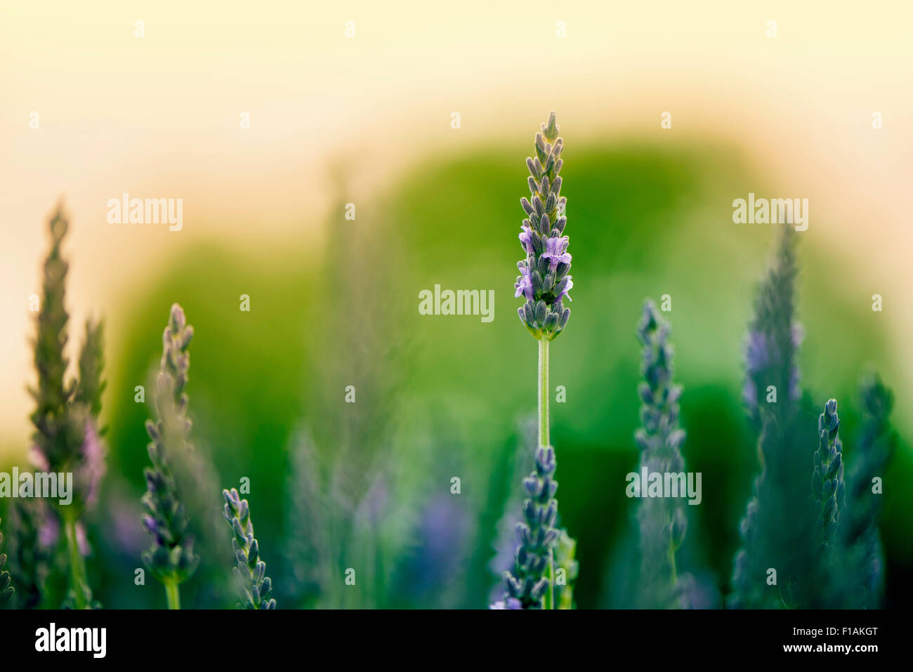 Lavender field, close-up - Stock Image