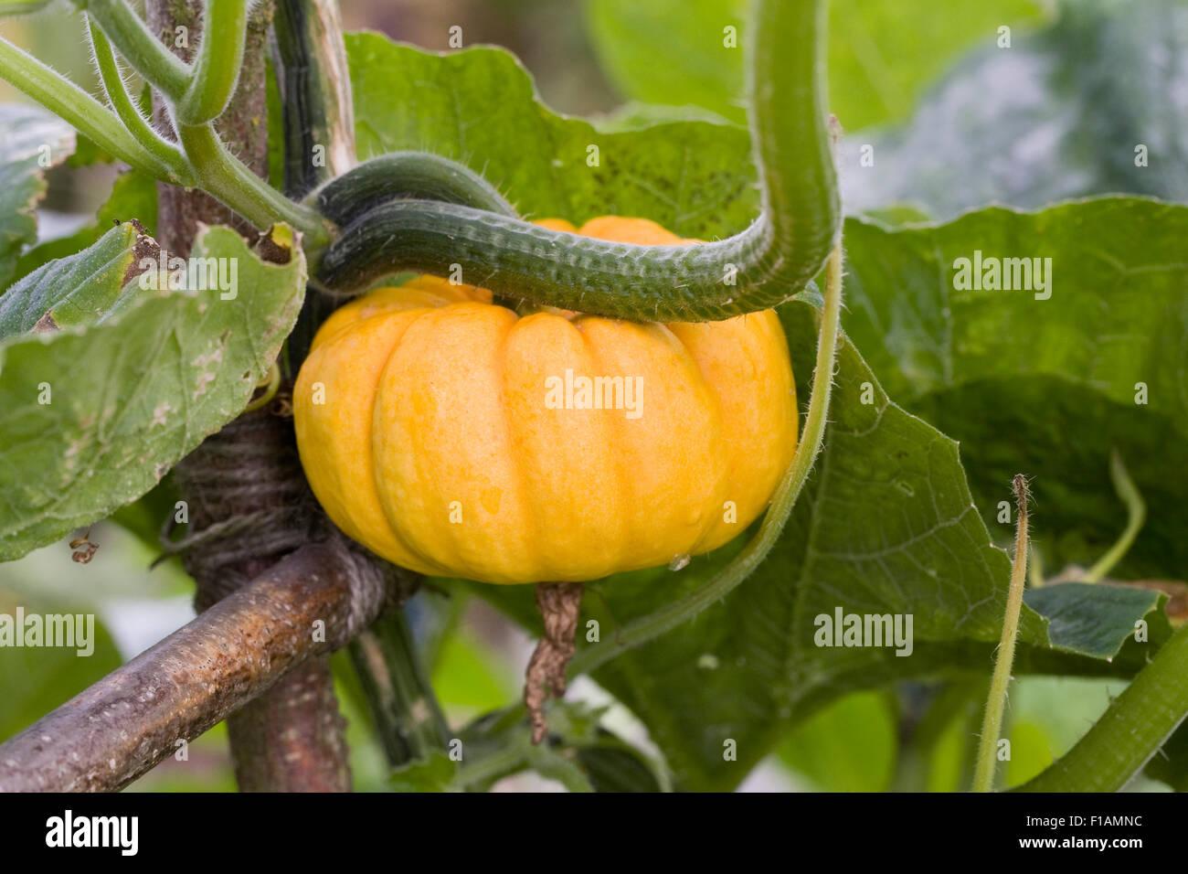 Squash munchkin growing up a frame. - Stock Image