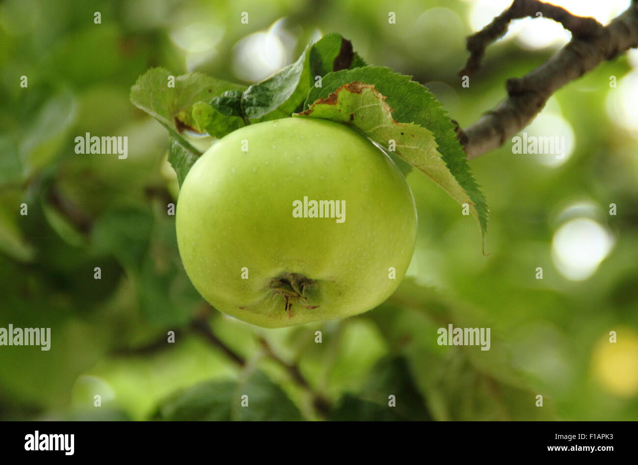 A Bramley apple hang from the branch of a tree in Southwell, Nottinghamshire,  where this variety was first propagated, - Stock Image