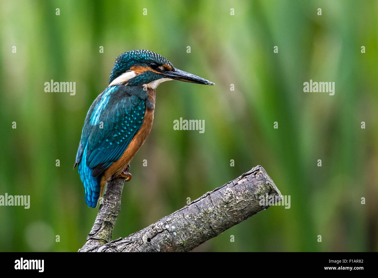Kingfisher (Alcedo atthis) fishing from a post at Stodmarsh Nature Reserve Kent England - Stock Image