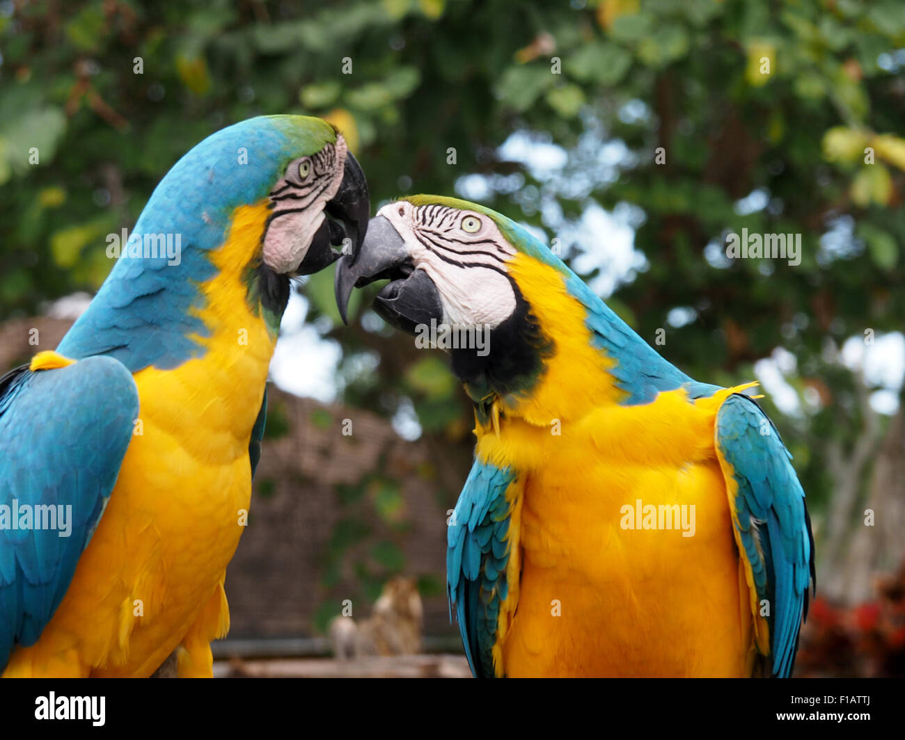 Pair of Yellow and Blue Macaws showing affection - Stock Image