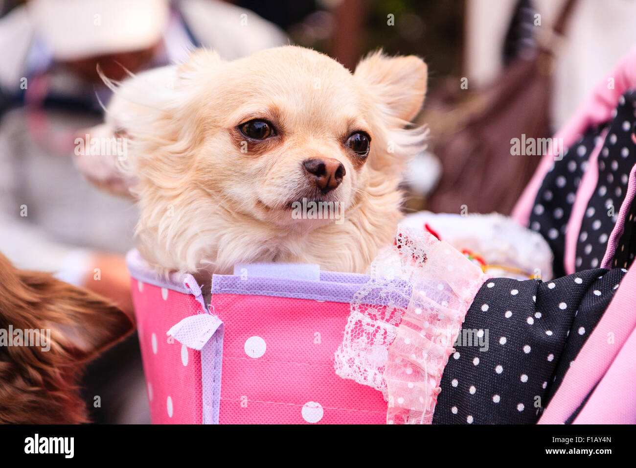 Japan, Kumamoto. Two little well groomed dogs in pink pushchair basket, one looking away, other turning to face - Stock Image