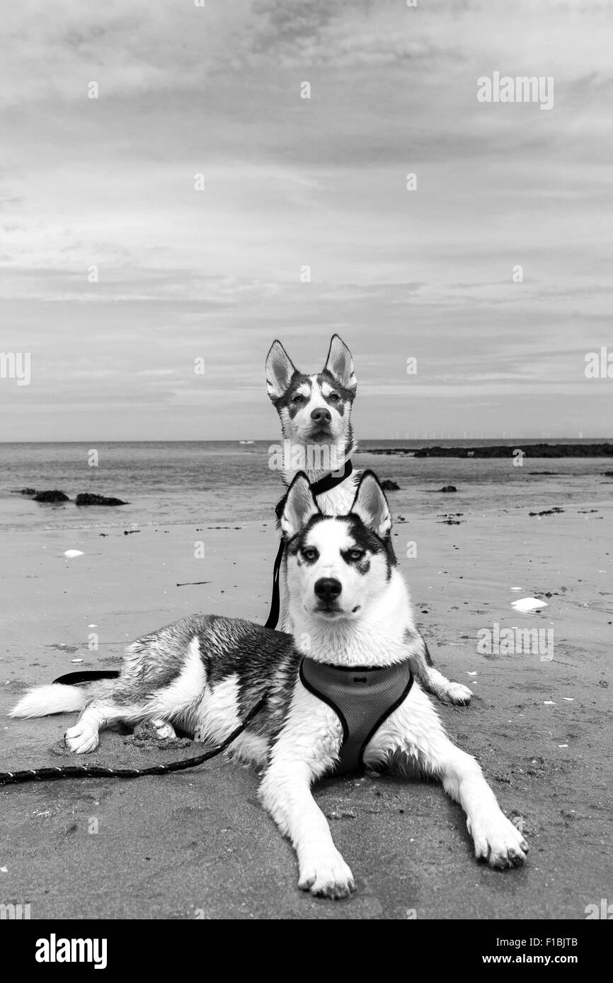 A black and white photograph of two Siberian husky puppies - Stock Image
