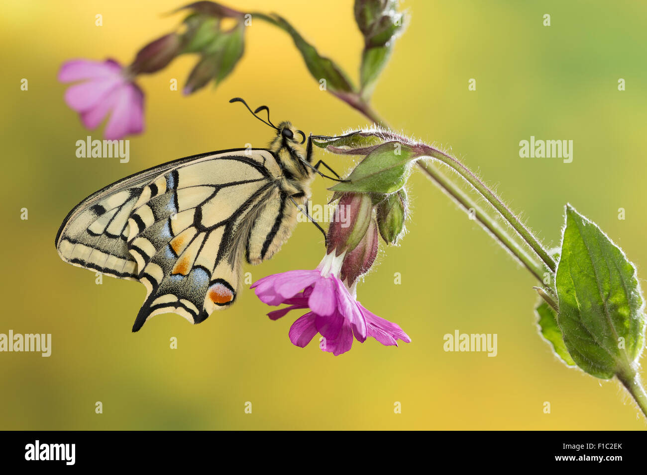 Old World swallowtail, common yellow swallowtail, swallow-tail, Schwalbenschwanz, Papilio machaon, Le Machaon, Grand - Stock Image