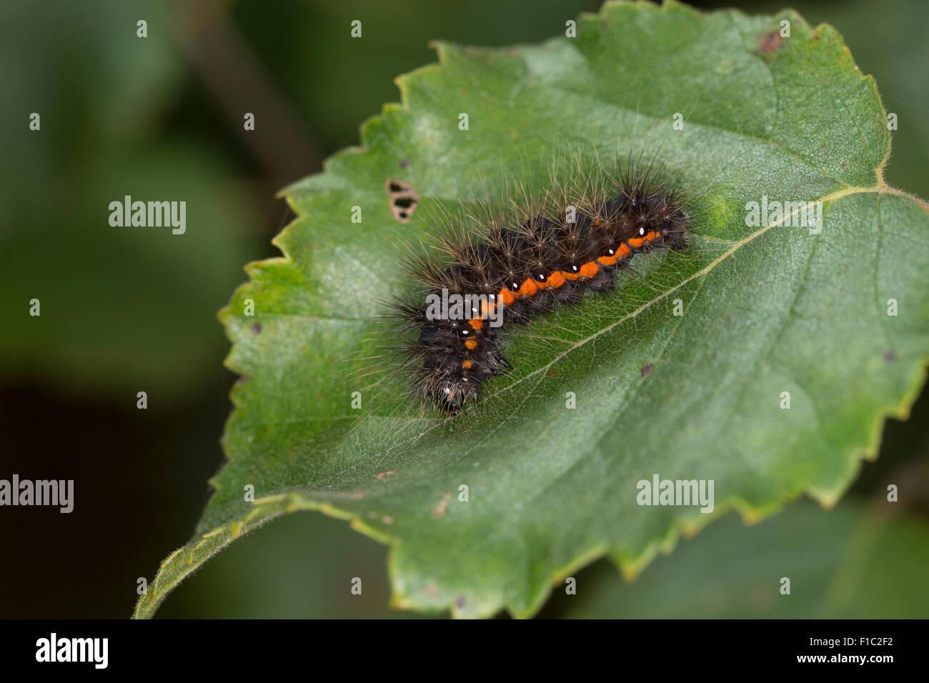 Light Knot Grass, Heidemoor-Rindeneule, Rindeneule, Fieberklee-Sumpfeule, Raupe, Acronicta menyanthidis, Apatele - Stock Image