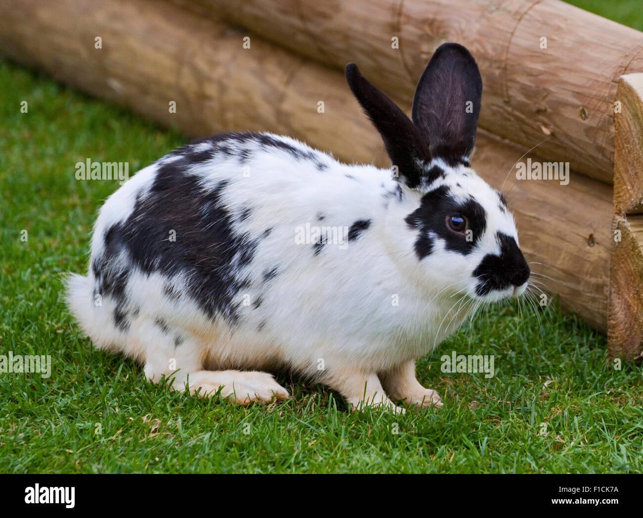 Black /& White Bunny
