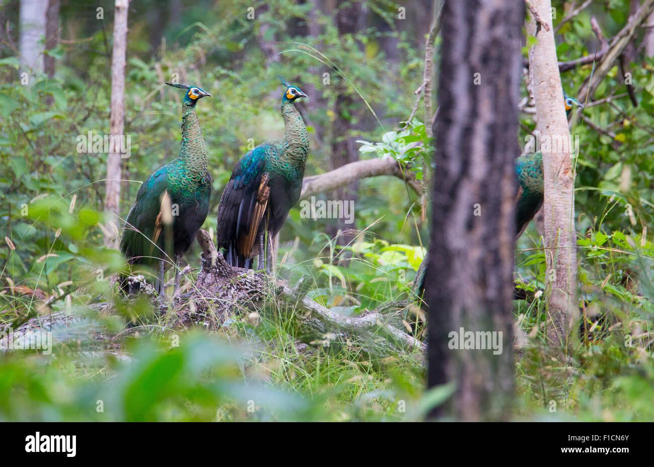 Wild Green Peafowl (Pavo muticus) in Huai Kha Khaeng Wildlife Sanctuary, Thailand - Stock Image