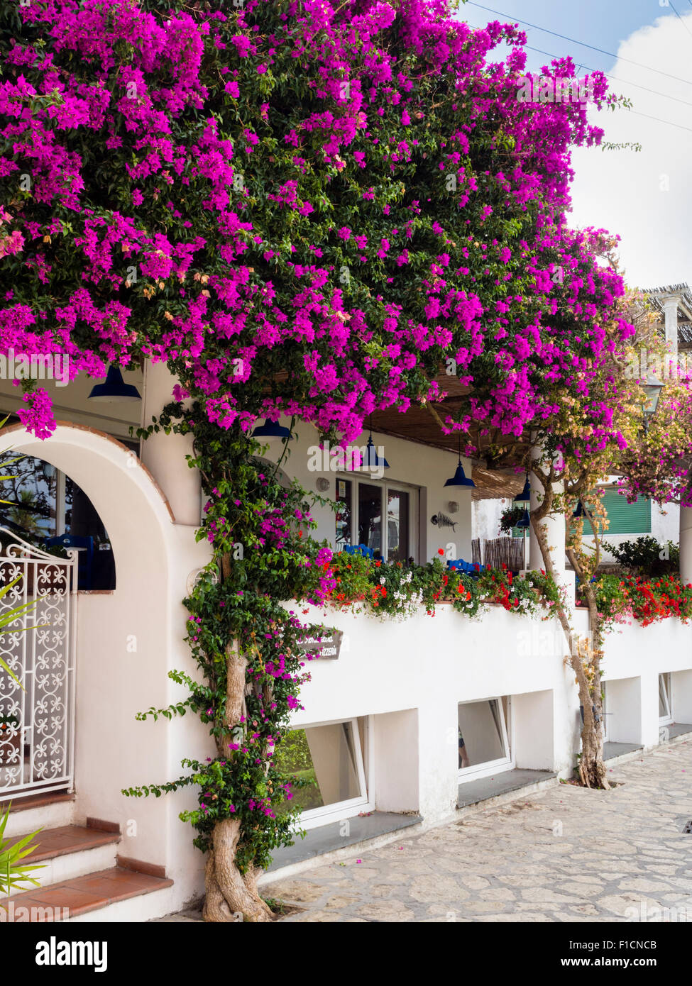 Bougainvillea flowers in Capri Italy - Stock Image