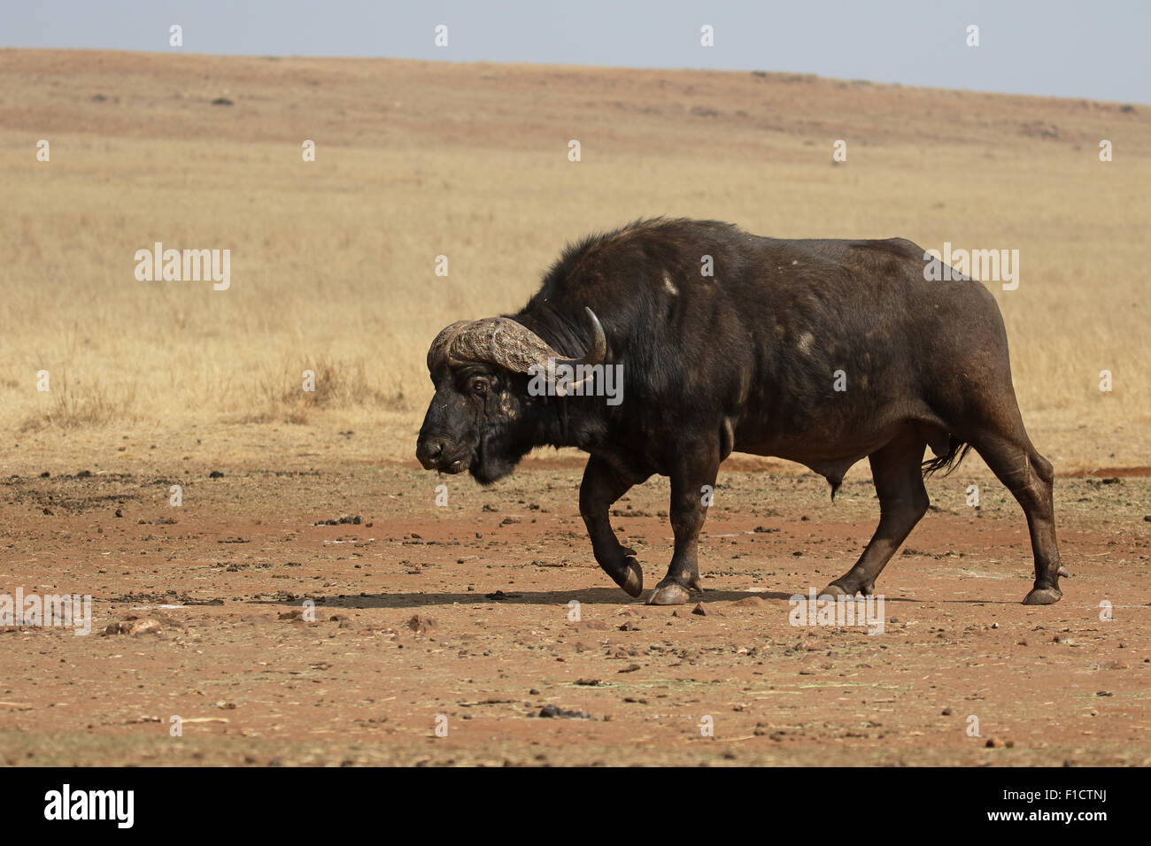 African buffalo, Syncerus caffer,  single mammal on grass, South Africa, August 2015 Stock Photo