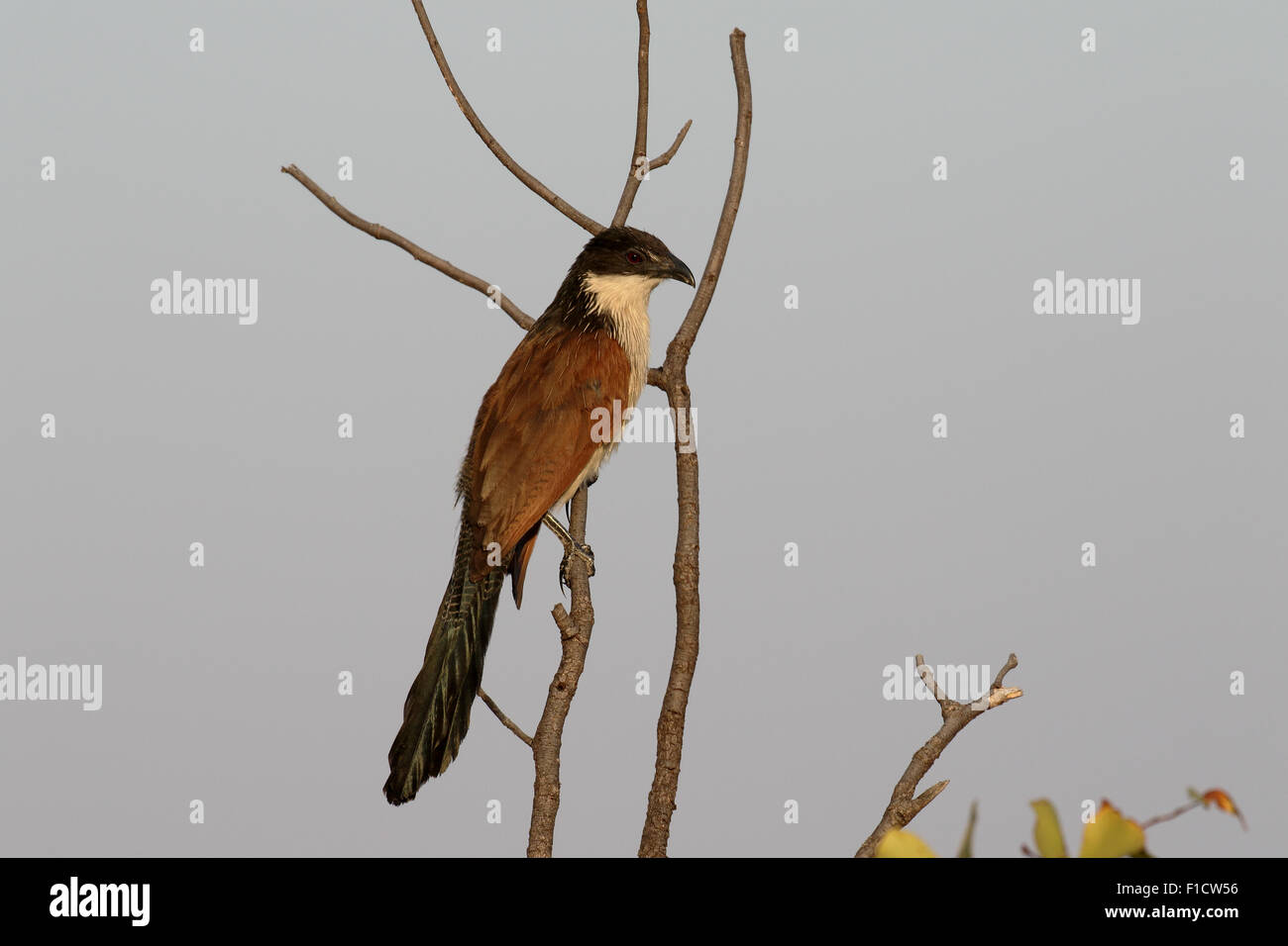 Burchells coucal, Centropus burchelli, single bird on branch, South Africa, August 2015 - Stock Image
