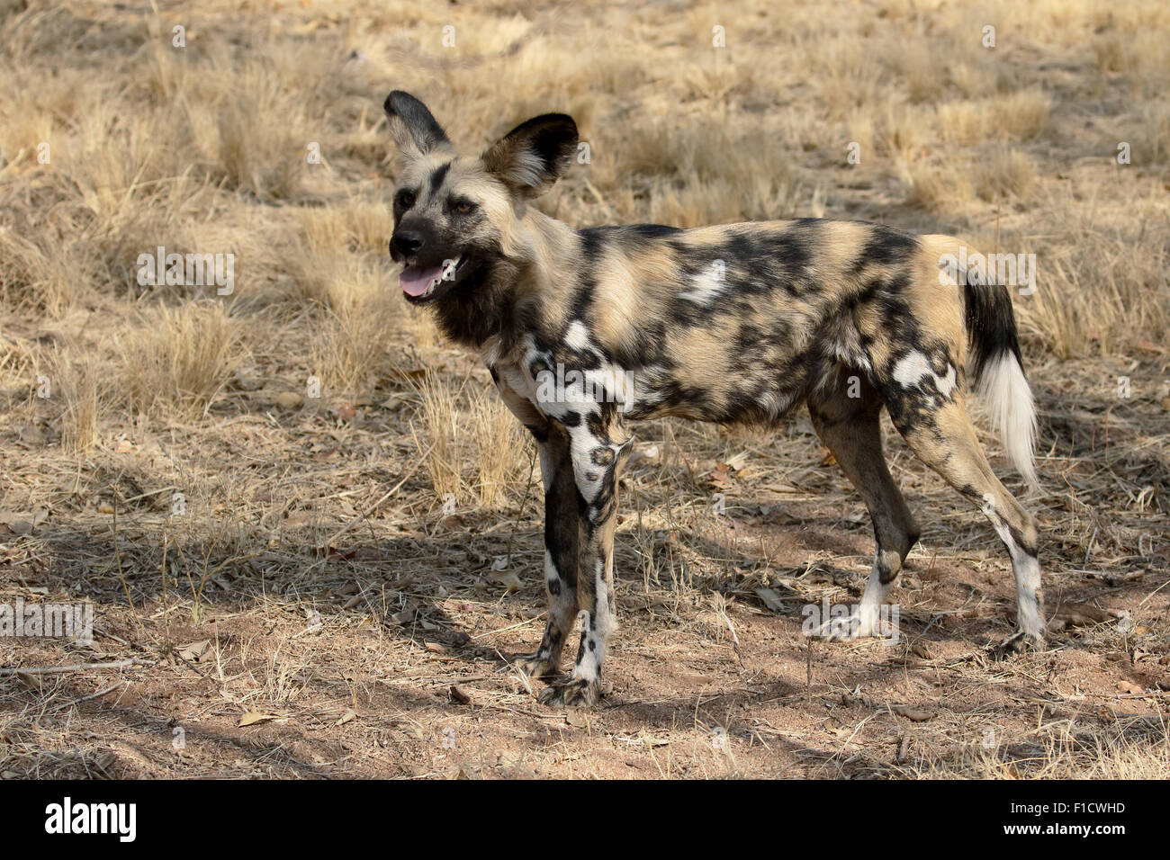 Cape hunting dog, Lycaon pictus, single mammal, South Africa, August 2015 - Stock Image