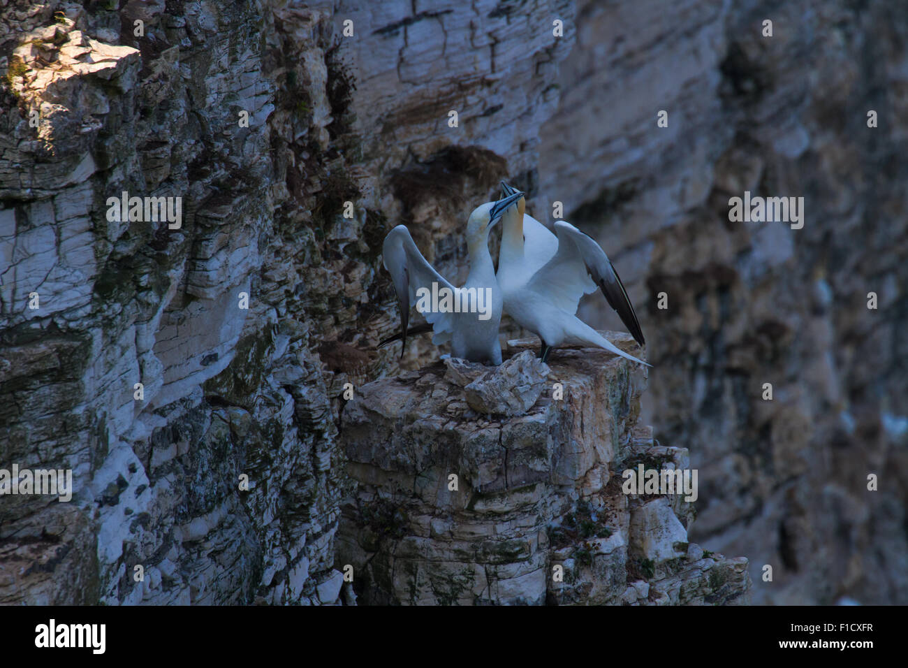 Gannet Greeting Ritual end phase where beaks cross - Stock Image